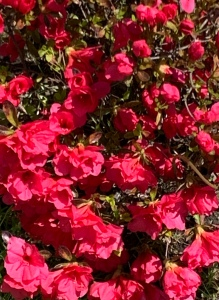 red azalea bush close up of blooms